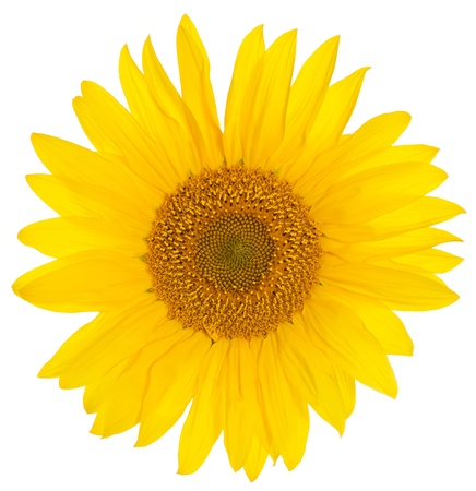 Closeup of a bright yellow sunflower over a white background