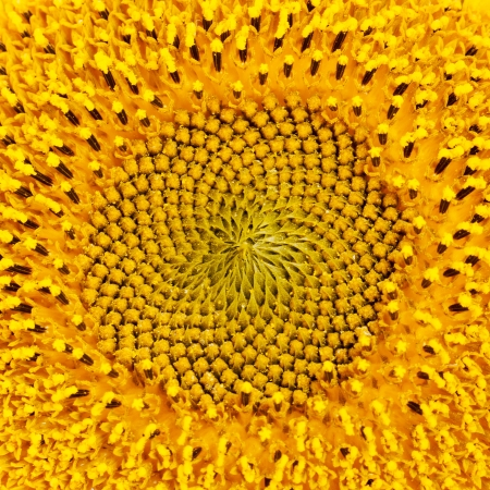 Extreme closeup of a bright yellow sunflower