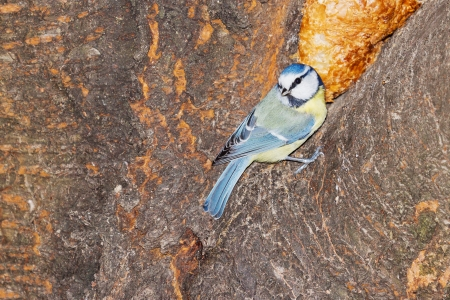 Closeup of a blue tit sitting on a tree in the garden
