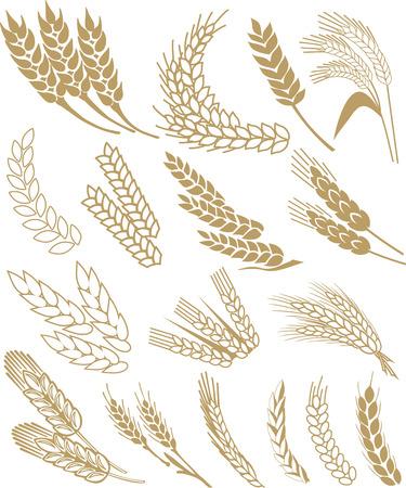 blé oreilles