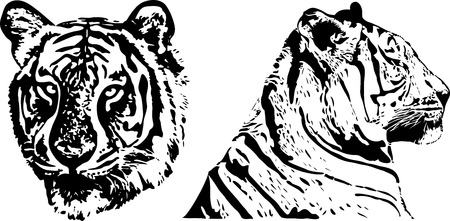 tiger - draw Vector