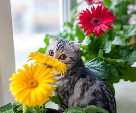 Cat Scottish rock sits among gerbera flowers