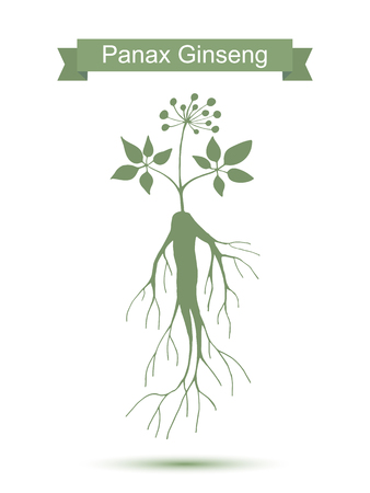 plant roots: Silhouette of panax ginseng root with leaves . Vector green plant isolated on white background.  Medicinal plant. Healthy lifestyle
