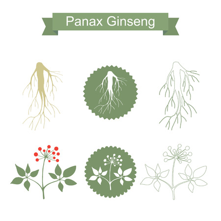 Silhouette of panax ginseng root with leaves . Vector green plant isolated on white background.  Medicinal plant. Healthy lifestyle