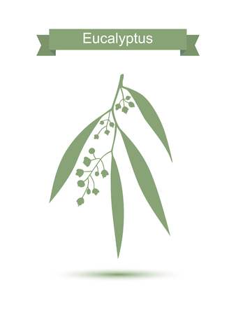 gum tree: Eucalyptus. Vector illustration isolated on white background. Medicinal plant. Healthy lifestyle