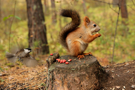 tree dweller: Squirrel forest Stock Photo