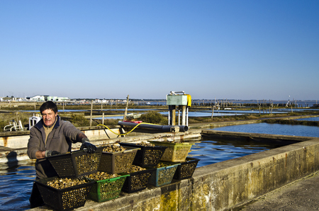 vendee: Oyster farm worker in cages with collecting oysters from the pool. April of 2015 Fromentine France Vendee Pay loire