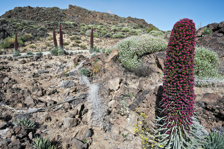 echium: Echium wildpretii flowers in Tenerife national park, slopes and Teide mount peak are at background Stock Photo
