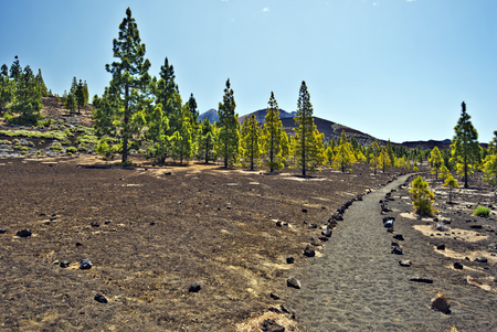 western slope: Walking pass in Tenerife national park through volcanic landscape with rare pine trees via Pico Vieho and Mount Teide from western slope Stock Photo