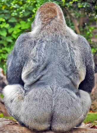 gorila: Parte posterior del gorila macho adulto en posici�n sentada