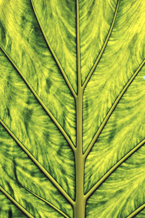 venation: Green leaf texture background with contrasted skeleton venation