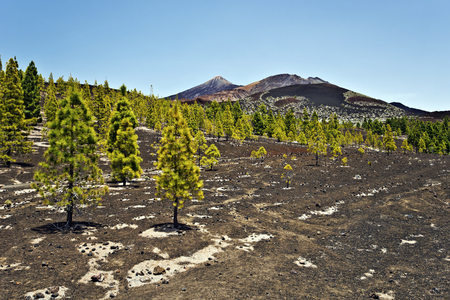 viejo: Pine forest in lava ground of in volcanic slope in Teide national Pack, Pico Viejo and Mount Teide seen at background, Canary Islands, Tenerif, Spain