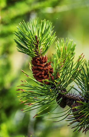 Blanch of Pine tree with Pine Cone in Hallormsstadaskogur National forest in Eastern Iceland. Banco de Imagens
