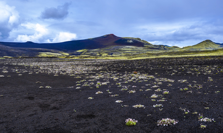Desert landscape of Lakagigar volcanic fissure area in Southern highlands of Iceland. Black volcanic ash ground decorated with flowering plants. 写真素材