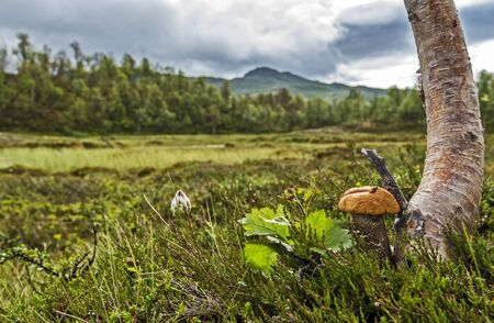 Brown cap boletus mushroom growing at the Trunk of Birch tree in focus at right of the picture. The landscape of Scandinavian tundra of Jamtland county of Sweden is at out of focus background. 写真素材