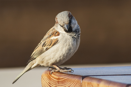 smarter: Sparrow sitting on the edge of the table and looking into the camera.