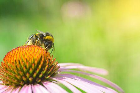Bombus. Single bumblebee on echinacea flower.