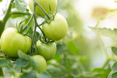 closeup group of green tomatoes growing in greenhousehorizontal frameblurry background Stok Fotoğraf