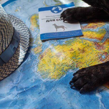 French bulldog is thinking of Far-off Destinations Редакционное