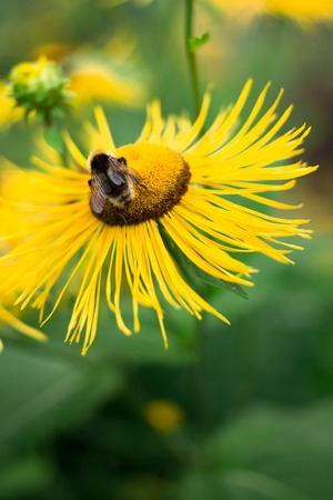 bees collect nectar on big yellow flower, the insect life in the summer