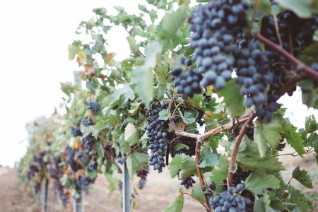 Nature background with vineyard in autumn harvest. Juicy bunches of grapes on a grape plantation 免版税图像