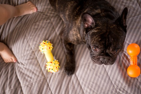 close up brindle French bulldog playing with his toys on the bed 版權商用圖片