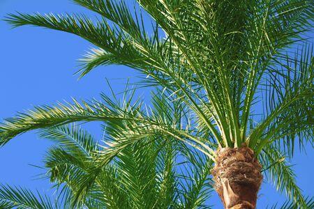 palm tree on blue sky photo