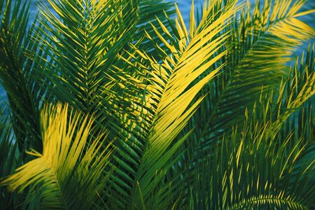 close-up of palm-tree leaves in the sunset photo