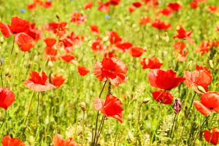 red blooming poppy flowers field Stock Photo - 13847659