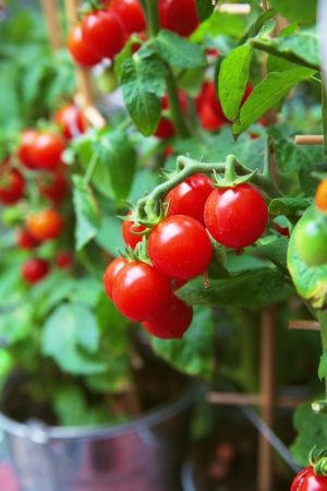homegrown: Homegrown cherry tomatoes in a pot