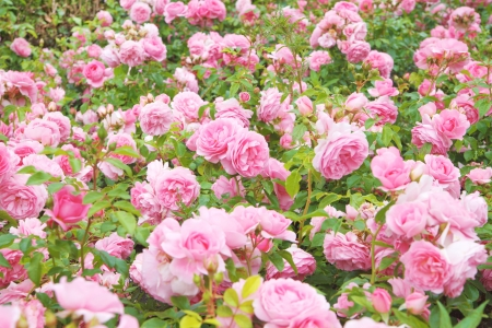 Pink rose bush, english roses in a field Stock Photo