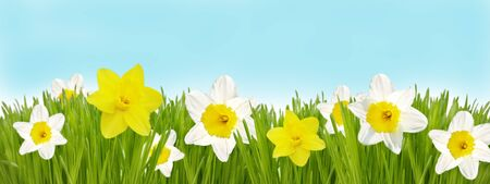 Colorful easter border. Fresh grass with daffodil flowers photo
