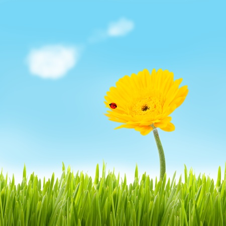 grassfield: Beautiful yellow gerbera with ladybug growing in a grassfield with blue sky and clouds  Stock Photo