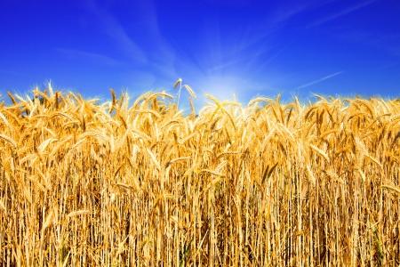 Golden Weizenfeld mit blauem Himmel und Sonne Lizenzfreie Bilder