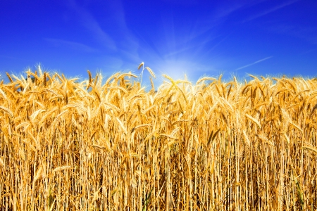 Golden wheat field with blue sky and sunlight  Stock Photo