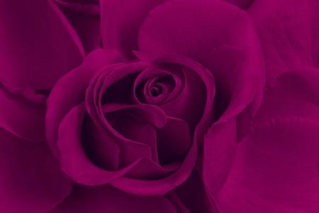 purple flowers: Purple rose close up, creative work