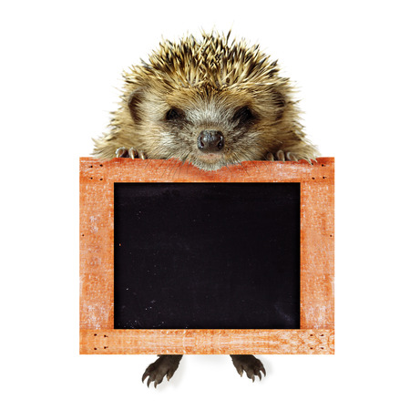 Funny cute hedgehog holding empty chalkboard or banner