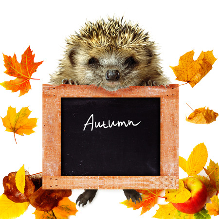 Funny cute hedgehog holding empty chalkboard or banner with leaf fall, apple and mushrooms at background photo