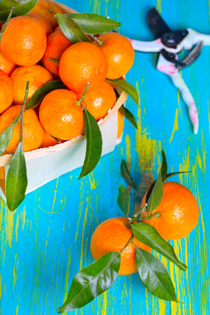 Tangerines with green leaves, on rustic wooden colorful background.Winter, holidays fruits photo