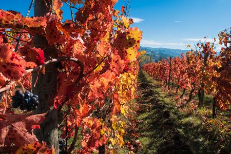 grape vines: Italian vineyard in autumnal foliage and Sagrantino grapes Stock Photo