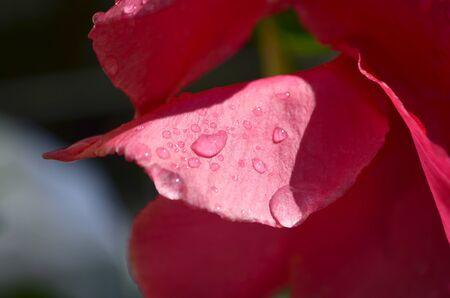 close up of pink flower petals with fresh dew drops Banco de Imagens