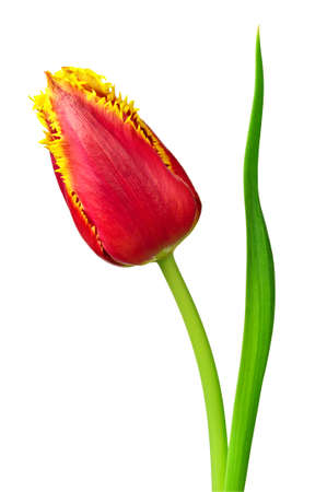 Tulip isolated on a white background photo