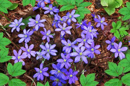 hepatica: Hepatica nobilis flowers in spring forest Stock Photo