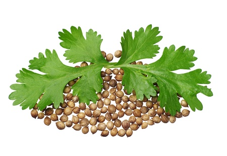 Two green coriander leaves and seeds closeup isolated on white