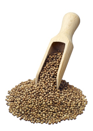coriandrum sativum: Cilantro grano con la cuchara de madera aislada en blanco