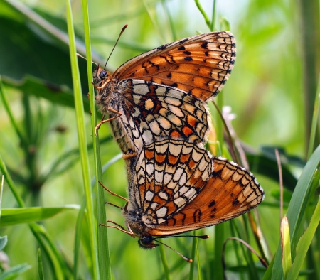 copulate: Two loving butterfly on the green grass