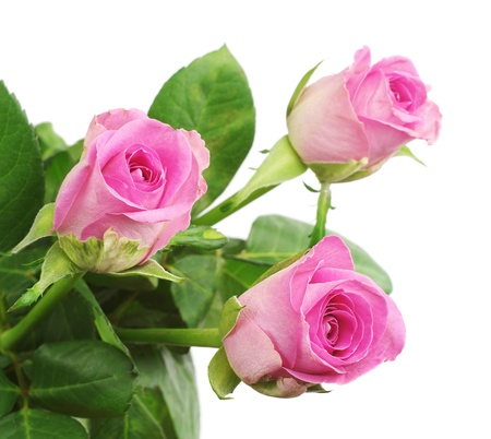 Three pink rose closeup isolated on white   photo