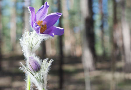 Violet pasque flowers in spring forest Stock Photo - 19612237