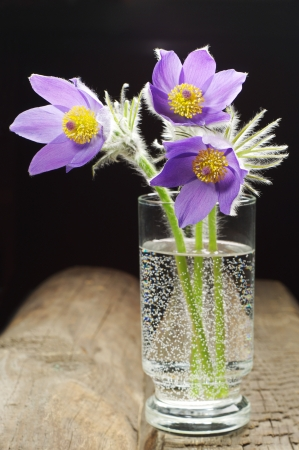 Pasque-flower in a glass on a wooden table Stock Photo - 19612301