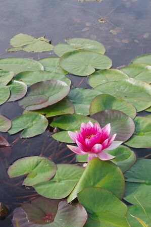 Beautiful Water Lilies flower in the pond Stock Photo